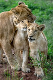 Lion Mother cubs. Lioness loving and protecting her cubs Royalty Free Stock Photos