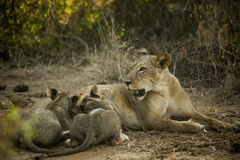 Lion mother feeding little lions in Africa Royalty Free Stock Image
