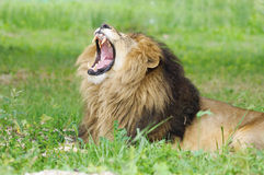 Lion with mouth open. Mature male lion with open mouth in green vegetation Royalty Free Stock Photo
