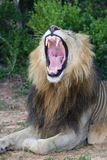 Lion with Mouth Open Showing Teeth Royalty Free Stock Images