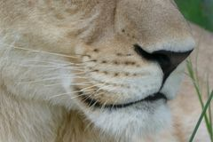 Close up of a lioness's muzzle in Botswana. This photo shows a close up of a lioness muzzle and whiskers in Botswana Stock Photography