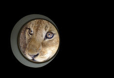 Lion in my window Royalty Free Stock Images