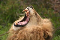 lion mycket royaltyfri fotografi