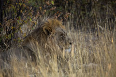 Lion in Namibia Royalty Free Stock Photography