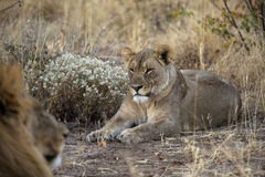 Lion in Namibia Stock Photo