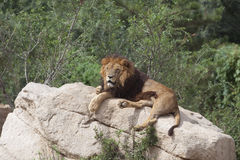 Lion napping stock image