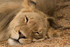 Lion Napping i Kalaharien Royaltyfria Bilder