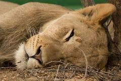 Lion Napping in the Kalahari Stock Image
