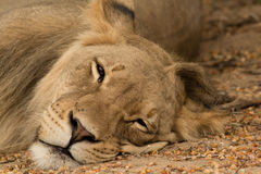 Lion Napping in the Kalahari Royalty Free Stock Images