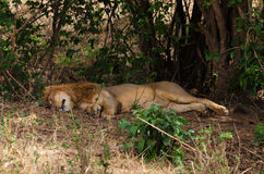 Lion Napping, Ngorongoro Crater Stock Photos