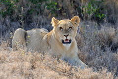 Lion in National park of Kenya, Africa Royalty Free Stock Image