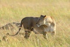 Lion in National park of Kenya Stock Images
