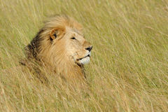 Lion in National park of Kenya Stock Photography