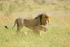Lion in National park of Kenya Royalty Free Stock Image