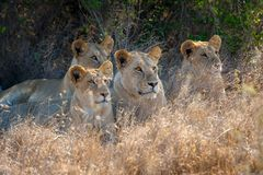 Lion in National park of Kenya. Africa stock image