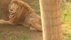 Lion in the nature stock video footage