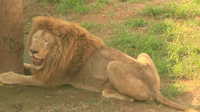 Lion in the nature. The lion in the nature stock footage