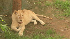 Lion in the nature stock video