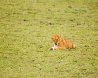 Lion in nature Stock Image