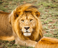 Lion in nature Royalty Free Stock Photography