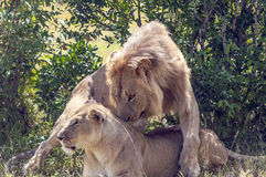 Lion near a lioness Stock Image