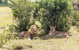 Lion near a lioness Royalty Free Stock Photography