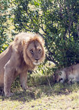 Lion near a lioness Stock Images