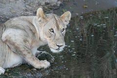 Lion near watering place wild dangerous mammal africa savannah Kenya Royalty Free Stock Images