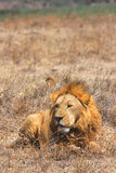 Lion in Ngorongoro Crater Stock Photos