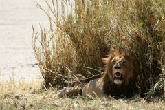 Lion- Ngorongoro Crater, Tanzania, Africa Royalty Free Stock Photos