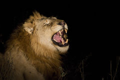 Lion at night Stock Image