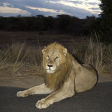 Lion at night Royalty Free Stock Images