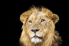 Lion in the night,  in Kruger National park, South Africa Royalty Free Stock Image