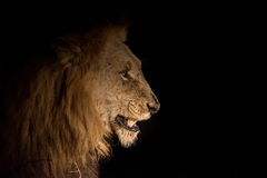Lion at night Royalty Free Stock Image