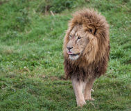 Lion noble. Lion looking noble on grass Royalty Free Stock Photography