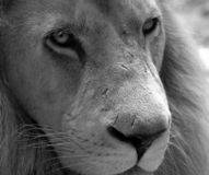 Lion noir et blanc Image libre de droits