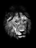 Lion, noir et blanc Photo stock
