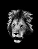 Lion, noir et blanc Photo libre de droits