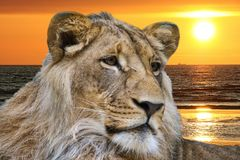 Lion and ocean sunset. Portrait of lion with ocean sunset in background Royalty Free Stock Image
