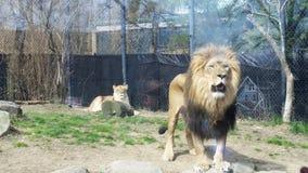 Lion och lioness Arkivbild