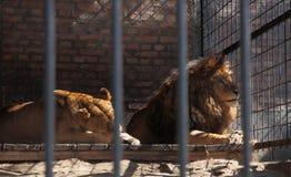 Lion och lioness Royaltyfri Foto