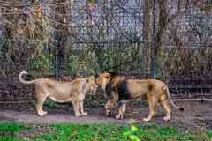 Lion och lioness Fotografering för Bildbyråer