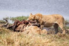 Lion - Okavango Delta - Moremi N.P. Royalty Free Stock Photography
