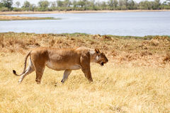 Lion - Okavango Delta - Moremi N.P. Royalty Free Stock Images