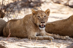 Lion - Okavango Delta - Moremi N.P. Stock Image