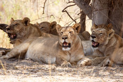 Lion - Okavango Delta - Moremi N.P. Stock Photo