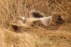 Lion - Okavango Delta - Moremi N.P. Lion at Okavango Delta - Moremi National Park in Botswana Royalty Free Stock Photo