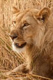 Lion - Okavango Delta - Moremi N.P. Royalty Free Stock Photos