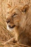 Lion - Okavango Delta - Moremi N.P. Royalty Free Stock Photos