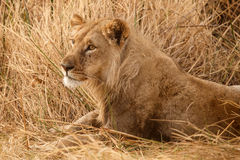 Lion - Okavango Delta - Moremi N.P. Stock Photography